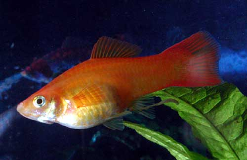Livebearer pregnancy aquarium advice aquarium forum for Pregnancy and fish