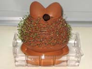 Rear view of Chia Pet after 9 days