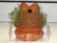 Rear view of Chia Pet after 2 weeks